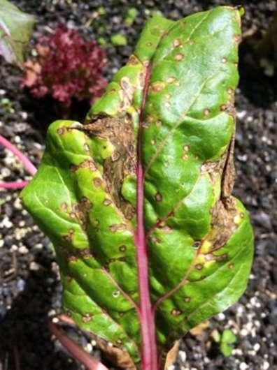 Prächtig Kranker Mangold Pflanzen: Anzeichen von Mangold Krankheit @YX_27