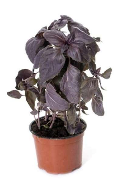Juga dikenal sebagai Red Rubin basil, kemangi merah ( Ocimum basilicum purpurascens ) adalah tanaman