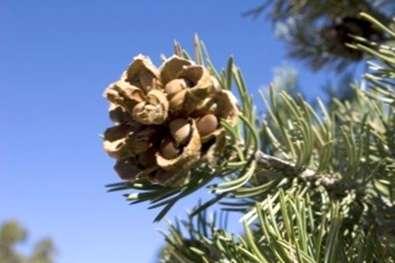 Cara Menanam Kacang Pine