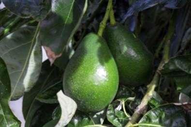 avocado baum d ngemittel wie man avocados befruchtet. Black Bedroom Furniture Sets. Home Design Ideas