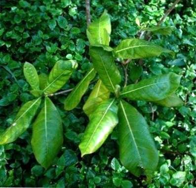 Helfen Eines Gardenia Bush Mit Gelben Blättern Haenselblattcom