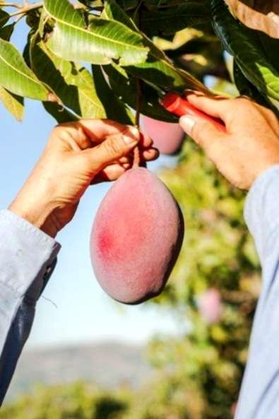 I mango sono una coltura economicamente importante nelle aree tropicali e  subtropicali del mondo. I miglioramenti nella raccolta e8bb691c7a9