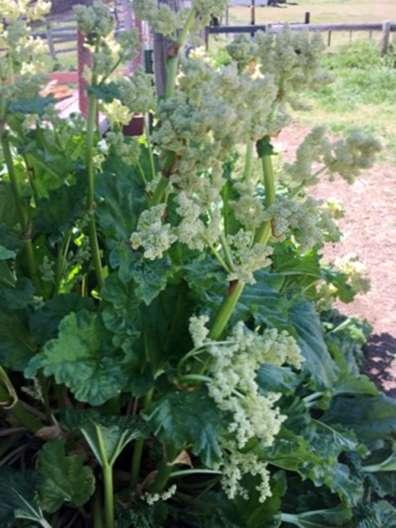 Beliebt Rhabarber-Blumen: Was zu tun ist, wenn Rhabarber zum Samen geht PM58