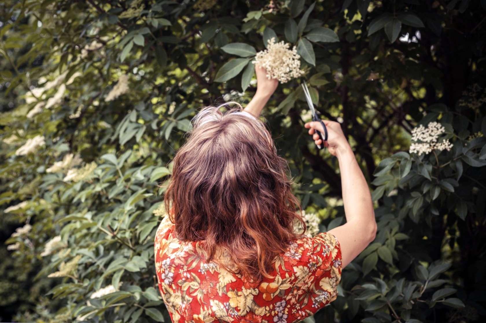 Holunderbeeren Pflanzen Schneiden Erfahren Sie Uber Rebschnitt