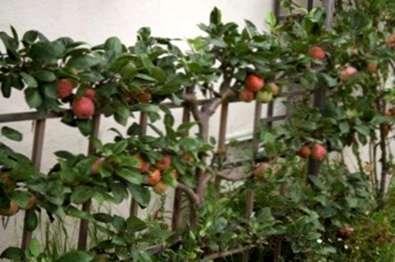 Wie Spalier Anweisungen Fur Obstbaumtraining Haenselblatt Com