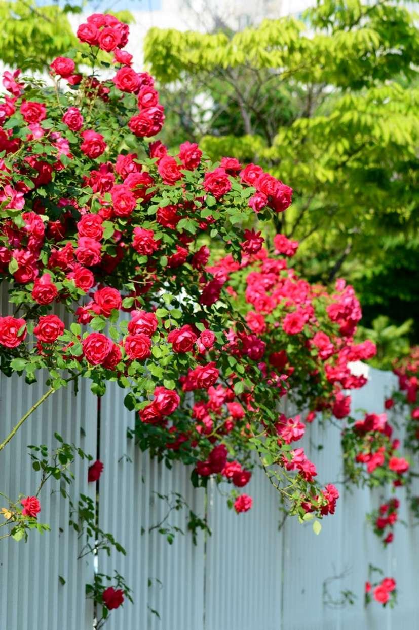 Rose Rampicanti Senza Spine crescenti rose rampicanti nella zona 9: varietà rampicanti