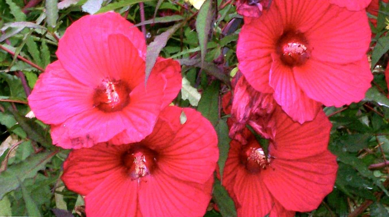 Hibiscus pour les jardins de la zone 5: conseils sur les soins d ...