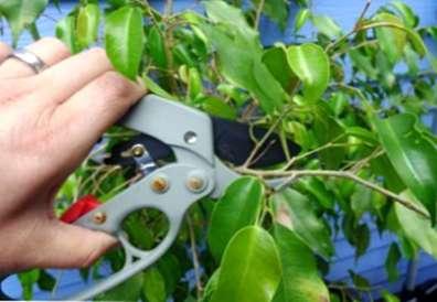Rifilatura Di Alberi Di Ficus Come E Quando Dovrebbe Essere Potato