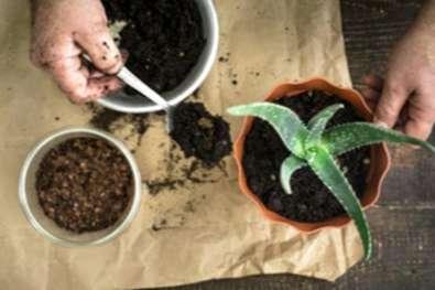 Guida Al Trapianto Di Aloe Impara A Rinvasare Una Pianta Di Aloe