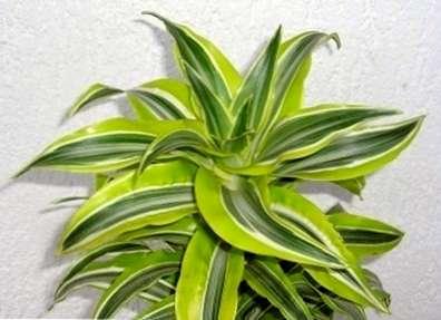 Zimmerpflanzen Allergie