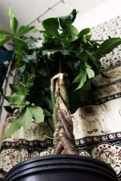 Money Tree Plant Care Suggerimenti Per La Crescita Di Una Pianta D