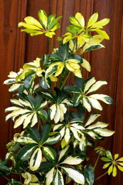 Schefflera Plant Pruning Tipps Zum Zuruckschneiden Schefflera
