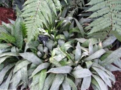 Will Cast Iron Plants Grow Outside: Pelajari Tentang Penanaman Besi Cor  Luar Ruangan - id.haenselblatt.com