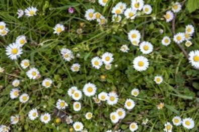 Bellis Daisy Lawn Alternative Mit Englischen Ganseblumchen