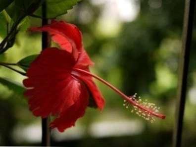 Wintering Hibiscus à Lintérieur Soins Dhiver Pour Hibiscus Fr
