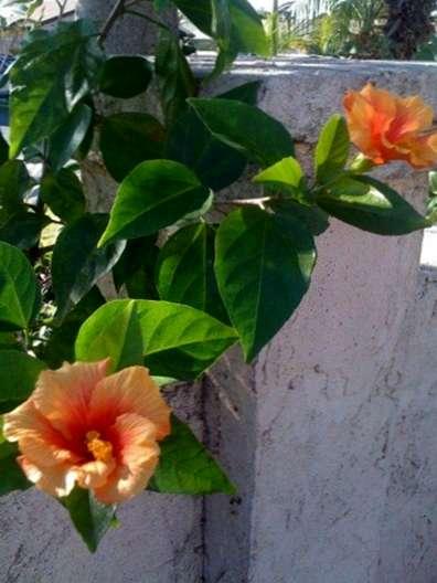 Bugs Sur Les Plantes Hibiscus Comment Traiter Un Hibiscus Tropical