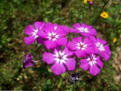Drummonds Phlox Pflanzen Tipps Fur Jahrliche Phlox Pflege In Garten