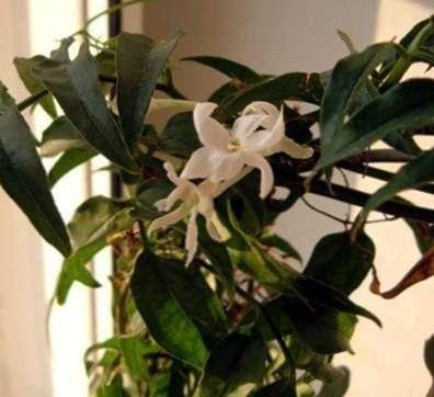 wachsende jasmin drinnen pflege von indoor jasmin pflanzen. Black Bedroom Furniture Sets. Home Design Ideas