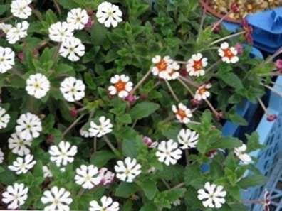 Cultivo De Plantas De Phlox Nocturno Informacion Sobre El Cuidado