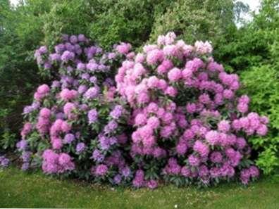 Probleme Mit Rhododendren Umgang Mit Rhododendron Insekt Probleme