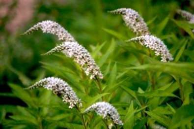 Variété de col de cygne de Loosestrife: information sur les fleurs ...