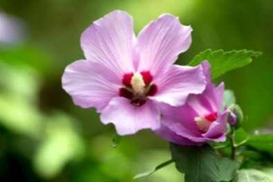 My Rose Of Sharon Tidak Mekar Alasan Tidak Mawar Bunga Sharon Id Haenselblatt Com
