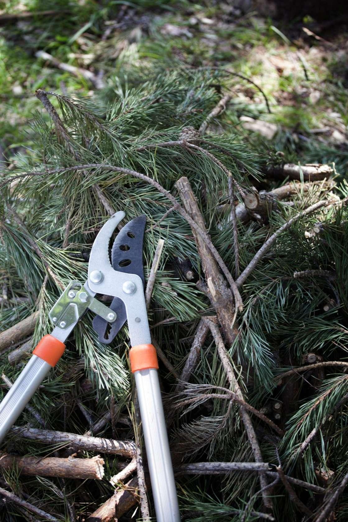 Periodo Migliore Per Potare Quercia potatura del pino: come e quando potare gli alberi di pino
