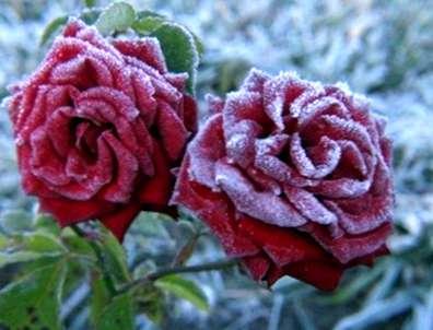 Ein Rosenbusch Im Kalten Wetter Sorgfalt Von Rosen Im Winter