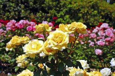 Rosensorten Was Sind Verschiedene Arten Von Rosen Haenselblatt Com