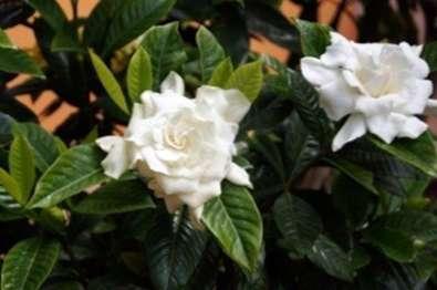 Verpflanzung Von Gardenia Pflanzen Pflanzung Von Gardenia