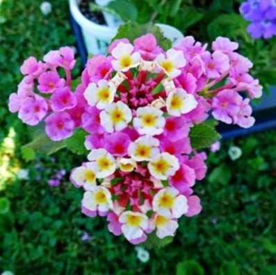 Variétés de Lantana: En savoir plus sur les plantes Lantana pour le ...