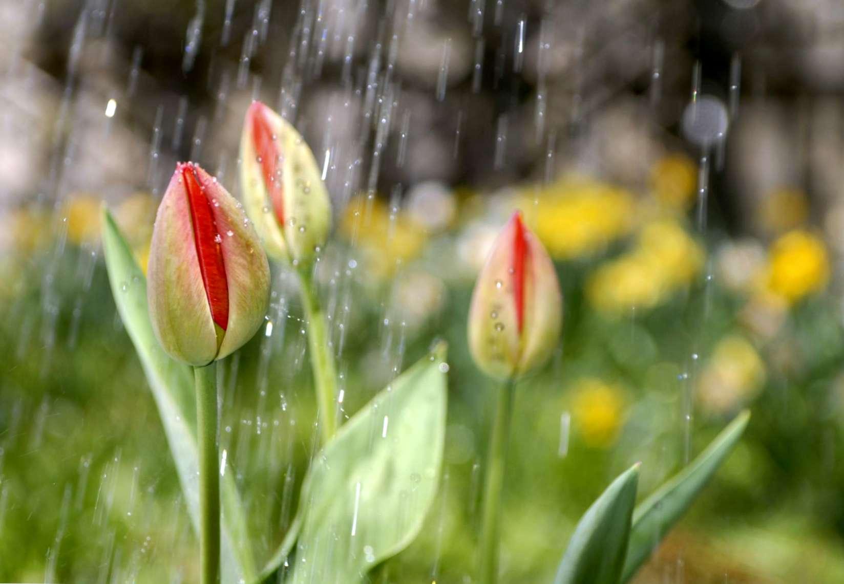 Piantare I Bulbi Di Tulipani bulbi per l'irrigazione dei tulipani: quanta acqua hanno