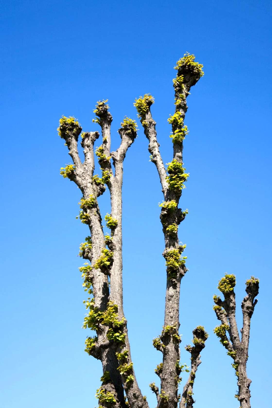 Come Potare A Palla che cosa è pollarding: suggerimenti su pollarding a tree