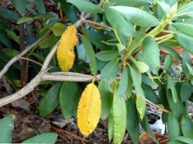 Rhododendron Gelbe Blätter : gelbe rhododendron bl tter warum sind bl tter gelb auf rhododendron ~ Yuntae.com Dekorationen Ideen