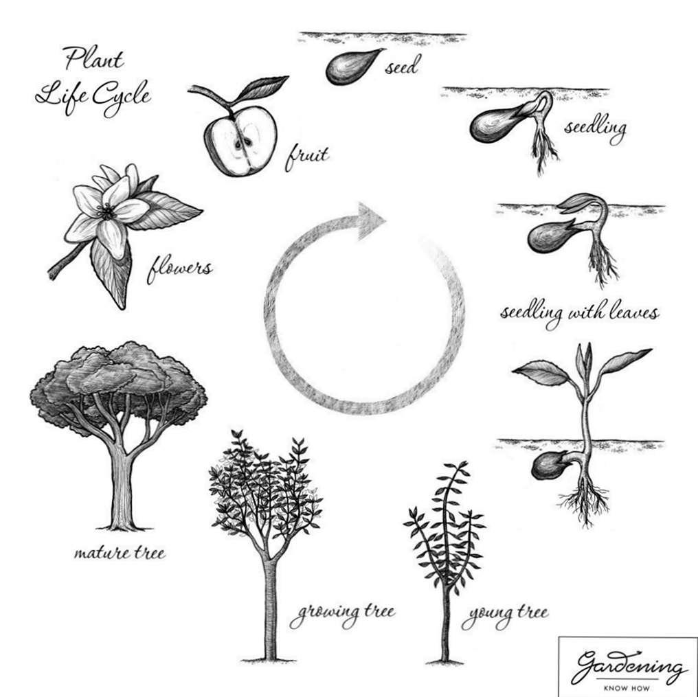 Siklus Hidup Tanaman Dasar Dan Siklus Kehidupan Tanaman Berbunga Id Haenselblatt Com